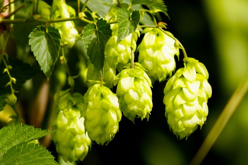 Beer Brewing Hops to Fight Dental Diseases